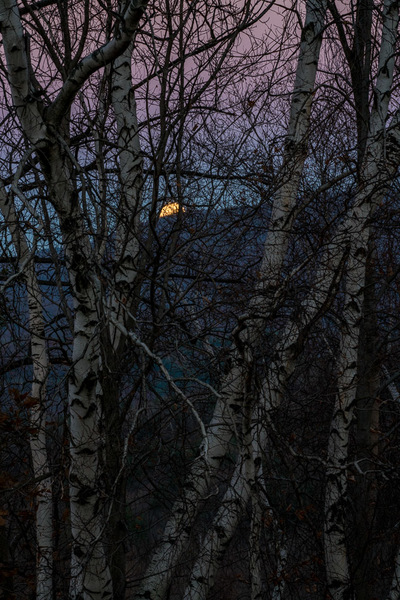 Moonrise, Pink Sky & Birches